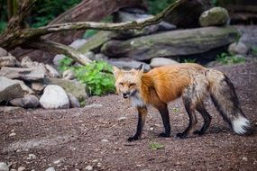 wild fox in the forest