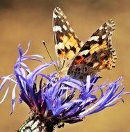 beatuful butterfly on the cornflower