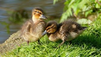 Ducklings Chicks