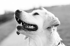 black and white photo of a golden retriever
