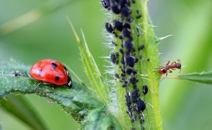 ladybug and ant on the plant