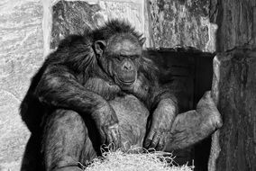 black and white photo of a chimpanzee in a zoo