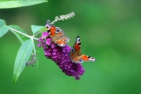 butterfly on a purple flower on a green plant