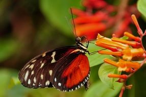 tiger longwing on the flower