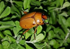 red may beetle