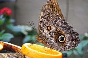 colorful Owl Butterfly with orange macro