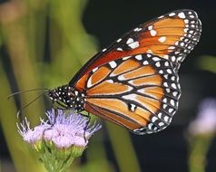 monarch butterfly on nature flower