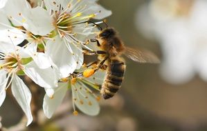 honey bee on a flowering branch