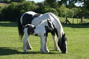 two black and white horses in a green meadow