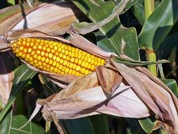 ripe corn cob in dry leaves