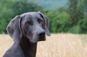 weimaraner is a hunting dog