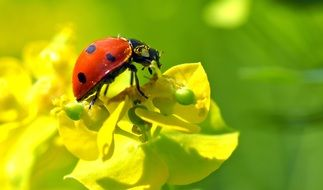 tiny ladybug on the yellow flower