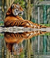 tiger lying by the water