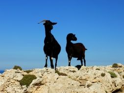 Goat Couple Animals