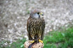 young wild kestrel