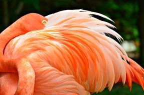 pink flamingo cleans feathers