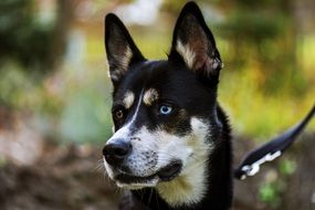 cute husky dog with different eyes on a leash