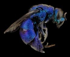 Macro picture of Cuckoo Wasp