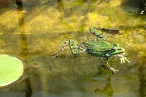 green frog swimming in a pond
