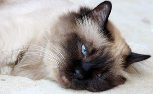 tired burmese cat