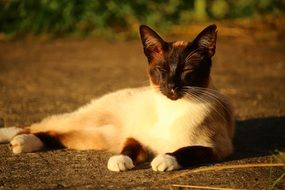 Siamese cat on a sunny evening