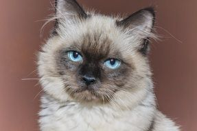 cute tom cat with blue eyes