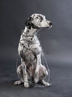 Dalmatian dog is in a barbed wire