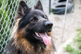 Cute German Shepherd dog