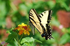 tiger swallowtail butterfly in the summer garden