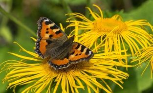 butterfly among bright yellow flowers