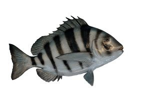 Sheepshead Fish or Archosargus probatocephalus