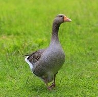 gray goose on green grass on a farm