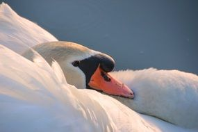 magnificently beautiful Mute Swan