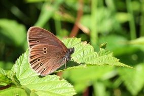 brown butterfly on a green bush close up