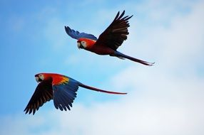 Parrots Pair Flying