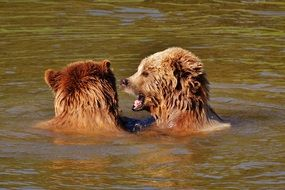two brown bears playing in the water