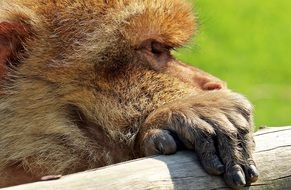 Barbary Ape Monkey