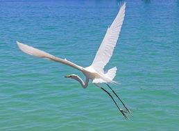 white heron in flight above the water