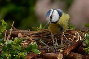 foraging blue tit