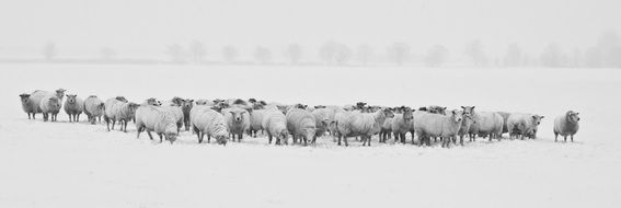 a flock of sheep on a pasture in winter