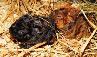 Guinea Pig Young Animals