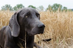 weimaraner dog in the field