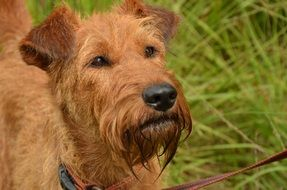 Irish terrier doggie
