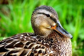 photo of the wet duck