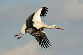 elegant Stork Flying in blue sky