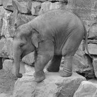 baby Elephant on stone in zoo