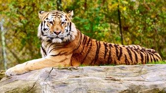 majestic tiger on a gray stone