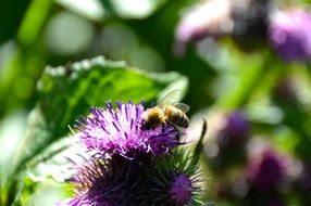 busy bee pollinating thistle