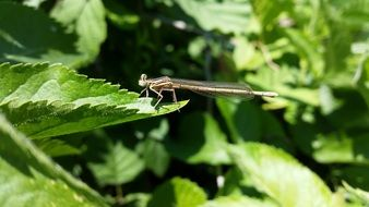 dragonfly on green nettle