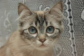 domestic Cat with blue Eyes portrait